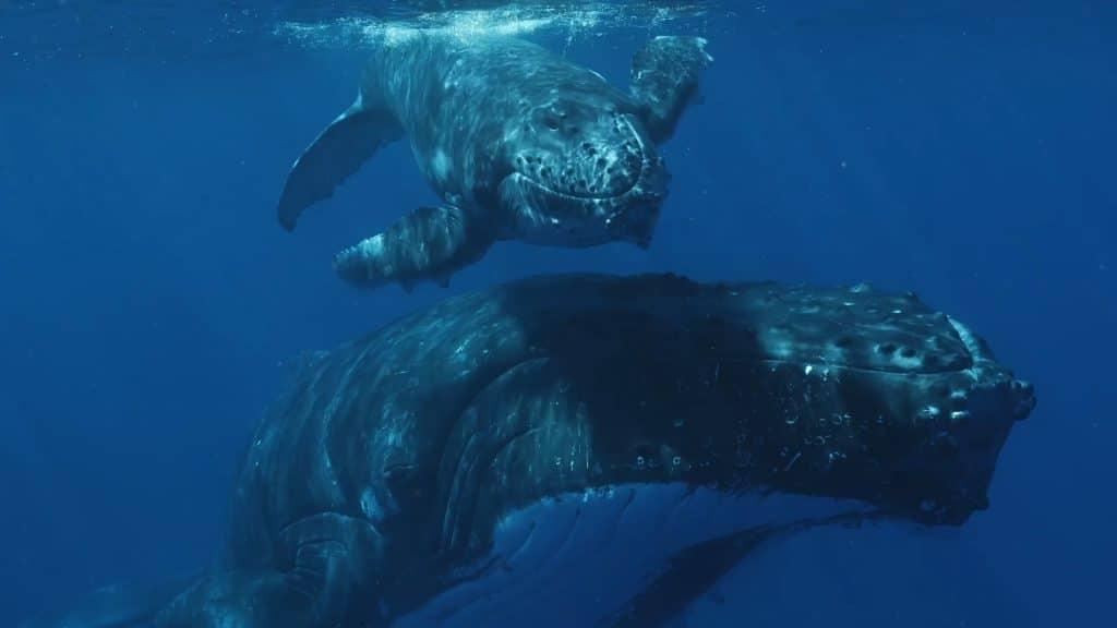 Oma Tafua, Niue's non-government organization conducting whale research in Niue has finally interpreted social sounds recorded last year.  Marine science graduate and acoustics student April Howeling attached to the research…