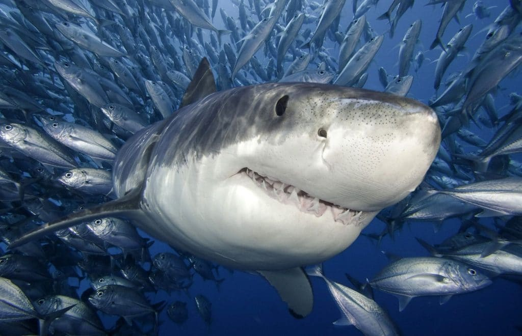 When local fishermen alerted problems of sharks around the Fish Aggravated Devices ( FADs), the saying goes, you have to see it to believe it and in recent weeks people…