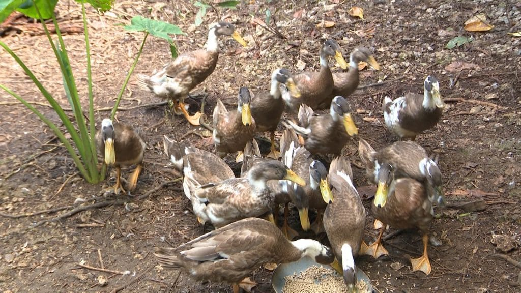 Niue may have lost its one and only celebrity 'Trevor the duck' earlier this year, however since May Niue has gained 38 ducks.  That's because a young self made farmer in…